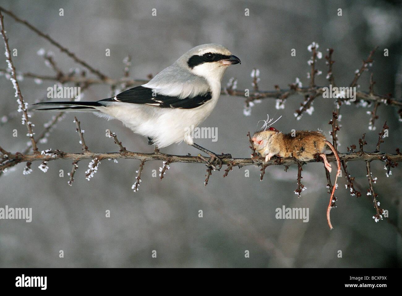 Great grey shrike - Wikipedia