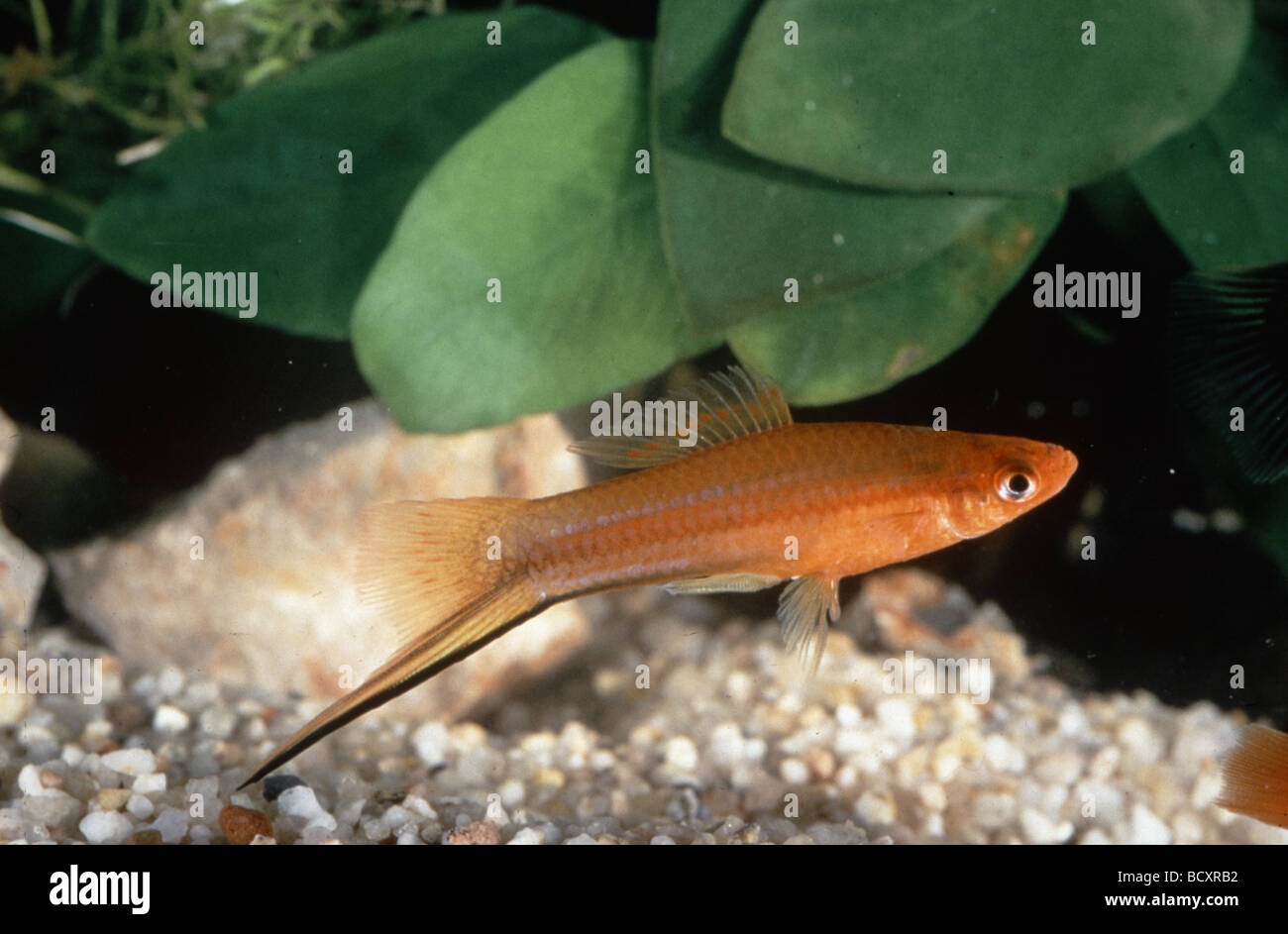 xiphophorus helleri / green swordtail Stock Photo, Royalty ...