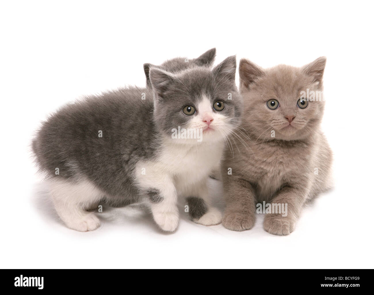 British Shorthair cat two kittens cut out Stock Royalty