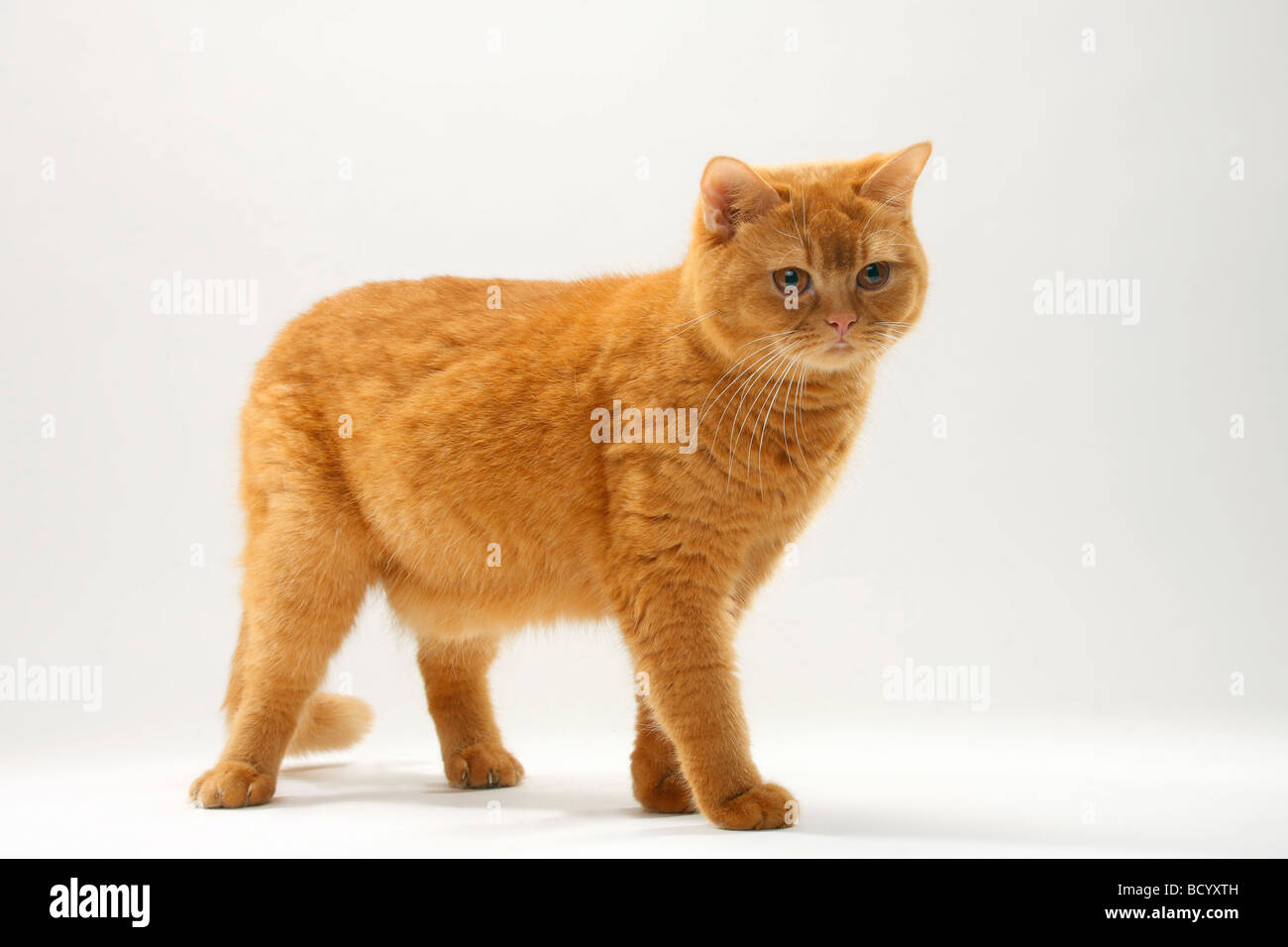 British Shorthair Cat solid red Stock Royalty Free Image