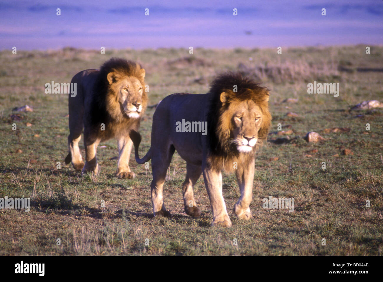 Lions walking together - photo#4