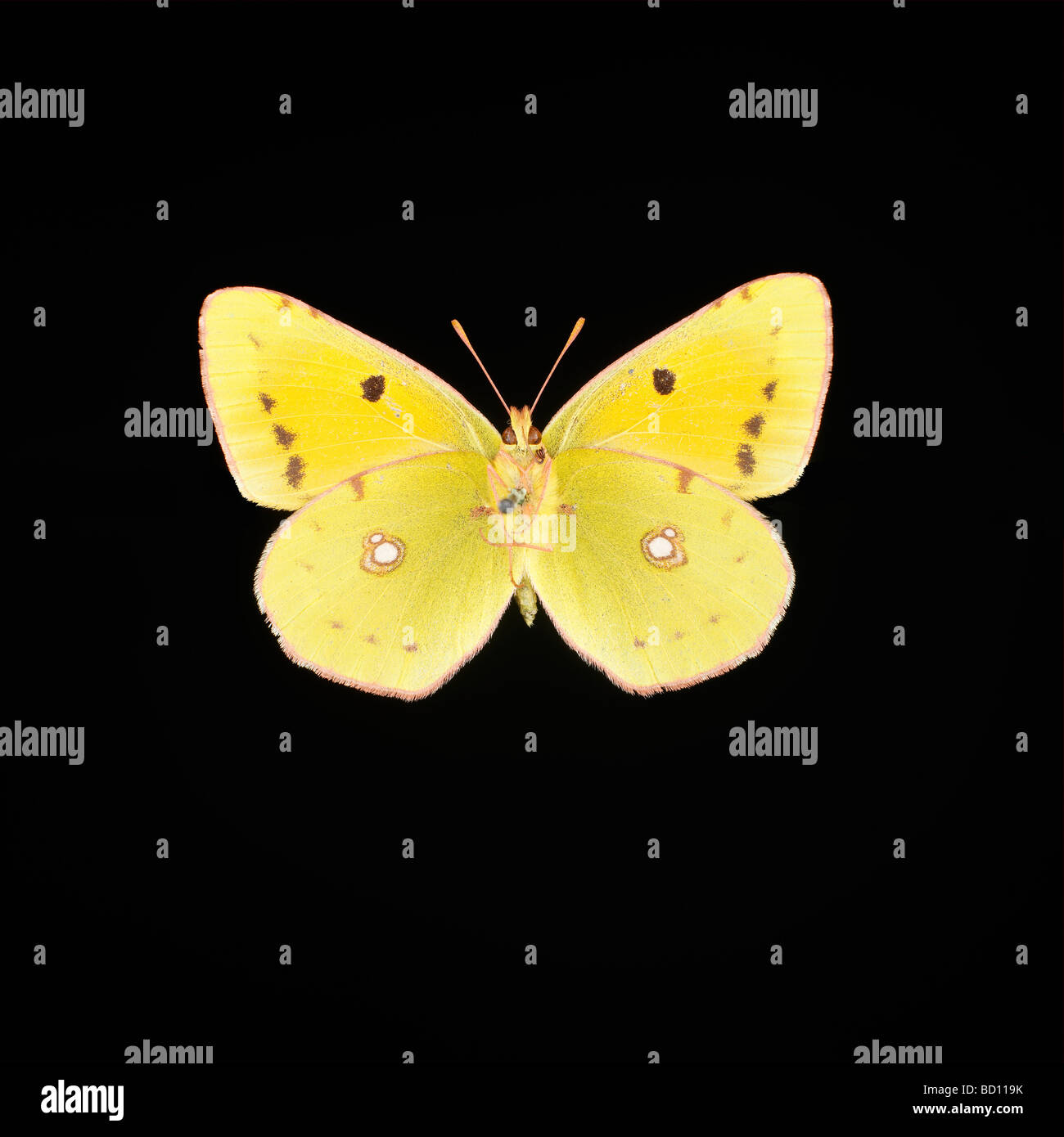 yellow butterfly black background stock photo royalty