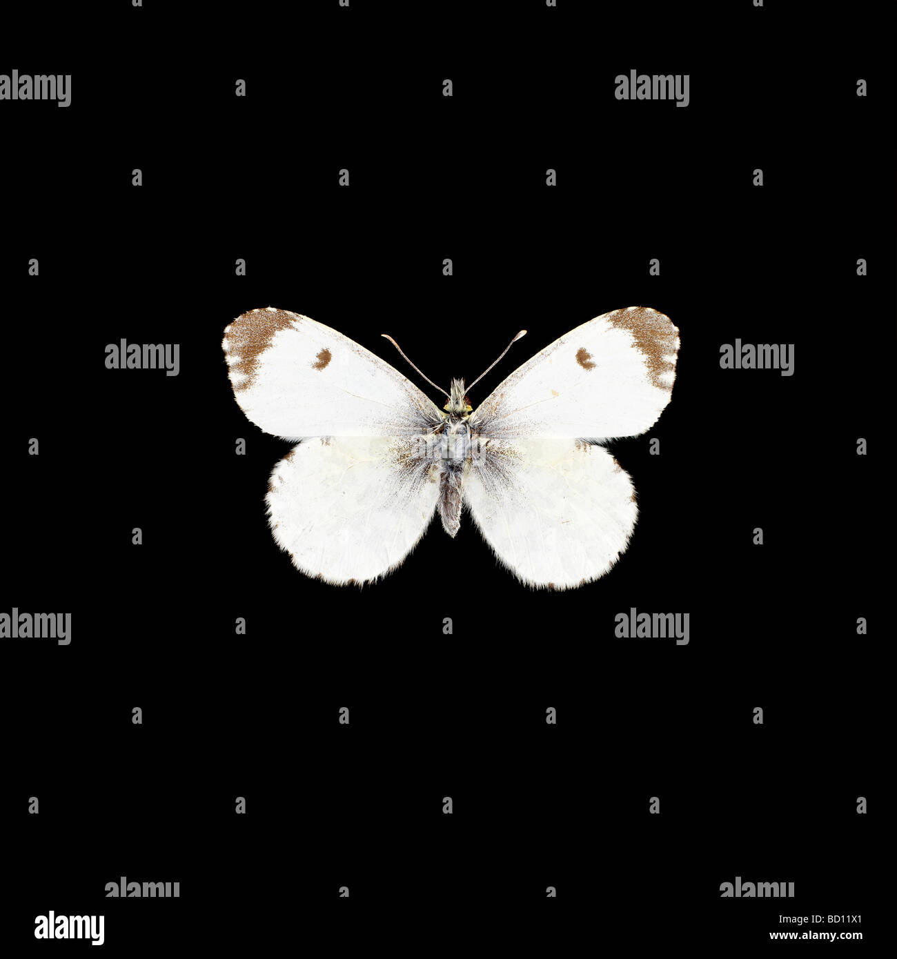 white butterfly black background Stock Photo, Royalty Free ...