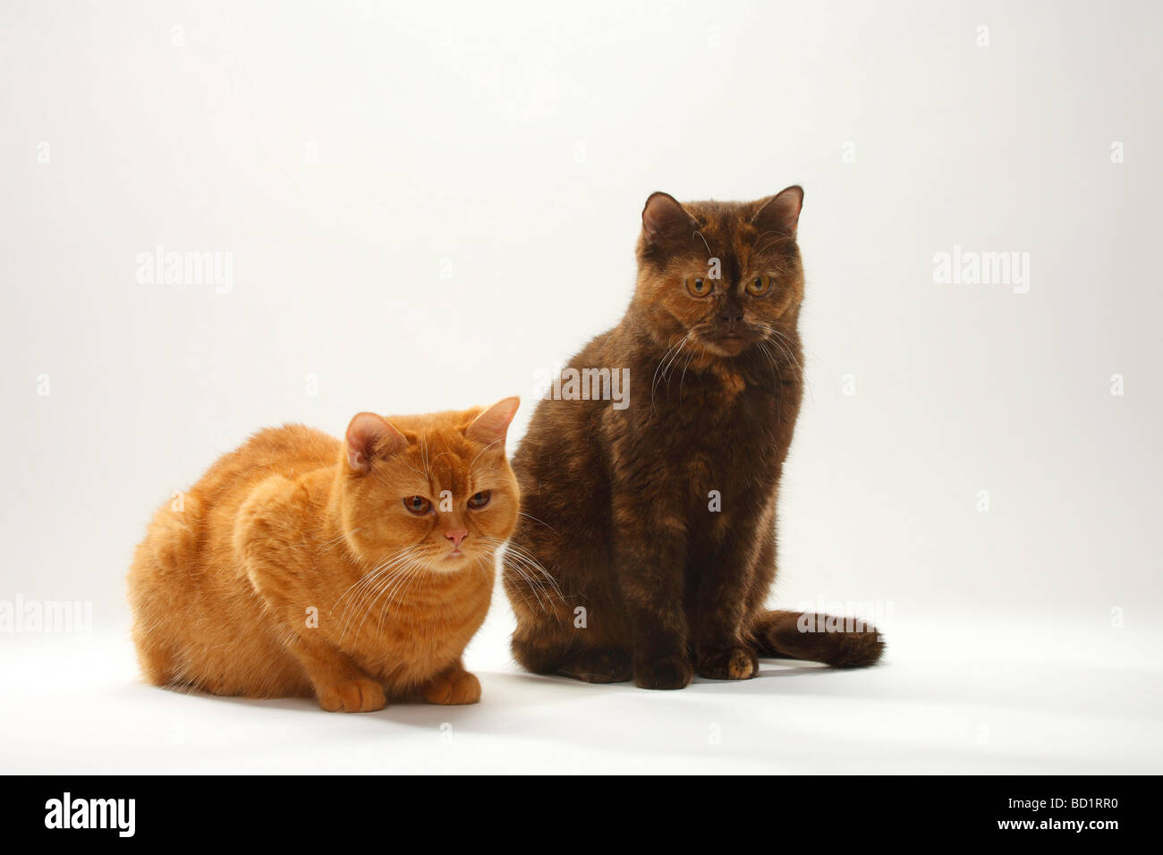 British Shorthair Cat solid red and chocolate tortie Stock Photo ...