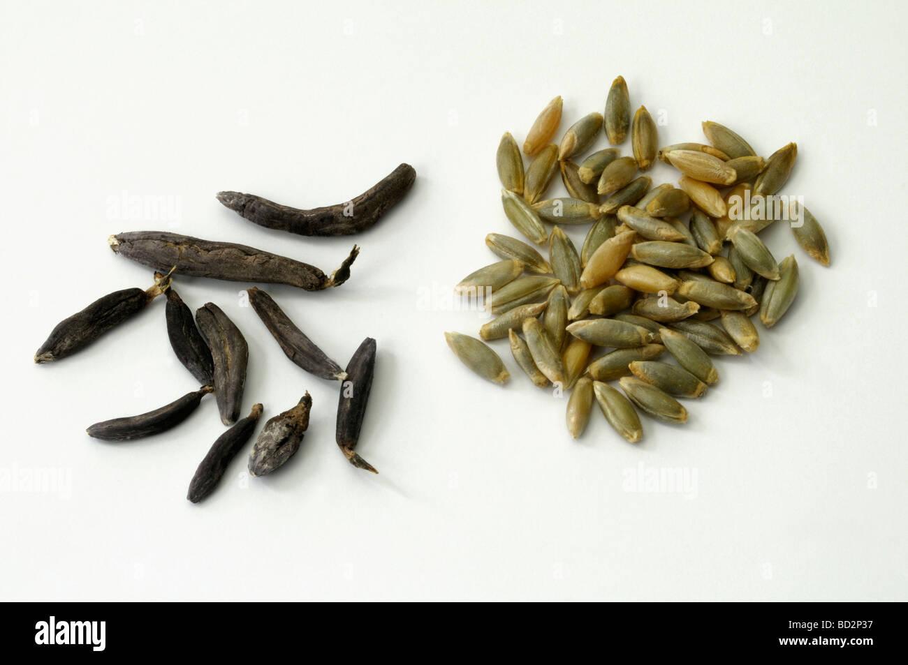 ergot spurred rye claviceps purpurea ergot kernels sclerotium stock photo royalty free. Black Bedroom Furniture Sets. Home Design Ideas