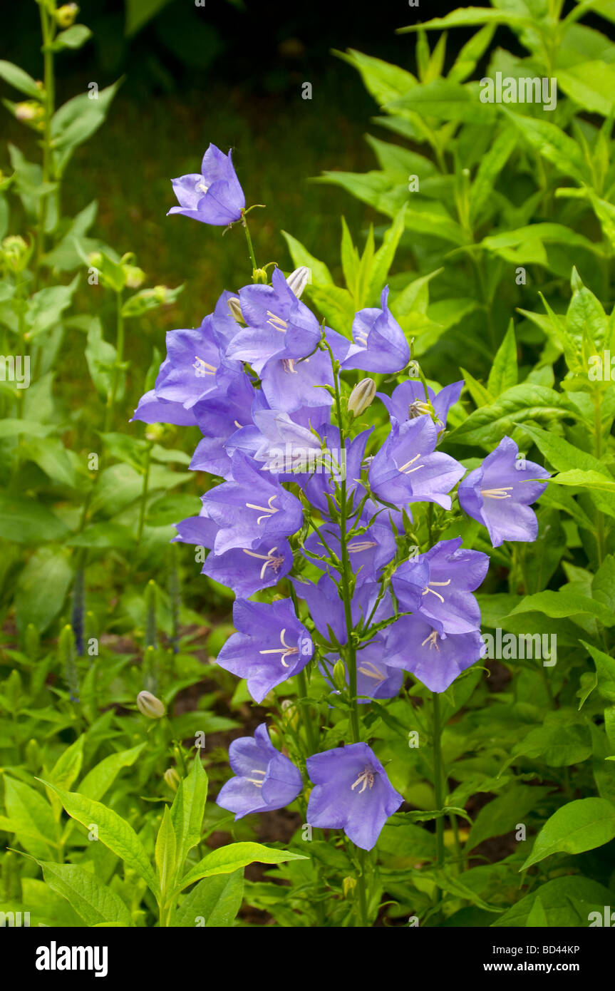 Stock photo a cluster of blue bell like flowers in a summer garden - A Cluster Of Blue Bell Like Flowers In A Summer Garden In Winkler Manitoba Canada