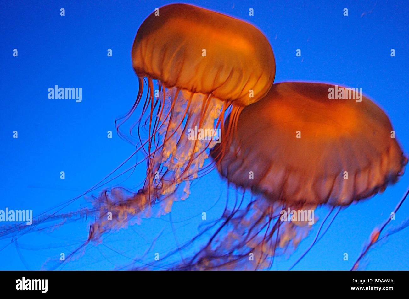 Fish aquarium vancouver - Jelly Fish At The Vancouver Aquarium In Stanley Park Vancouver Canada