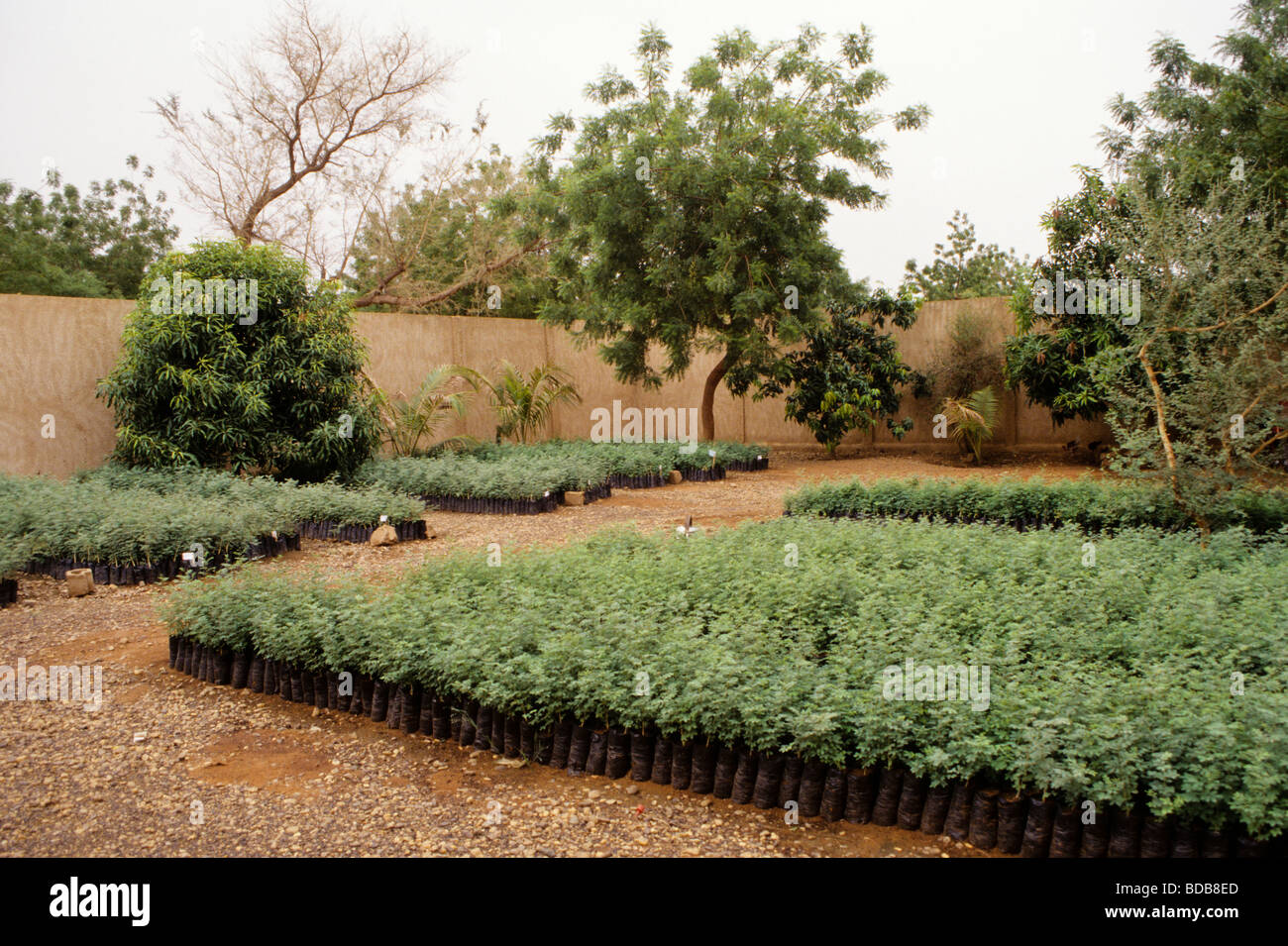 Gum Arabic. Acacia Senegal Tree Nursery, Niger, West Africa Stock ...