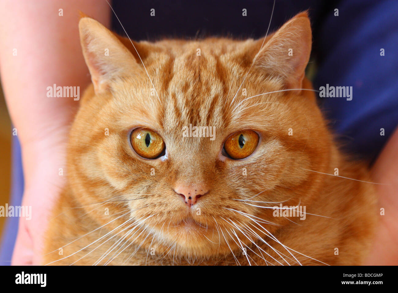 Ginger british shorthair cat Stock Royalty Free Image