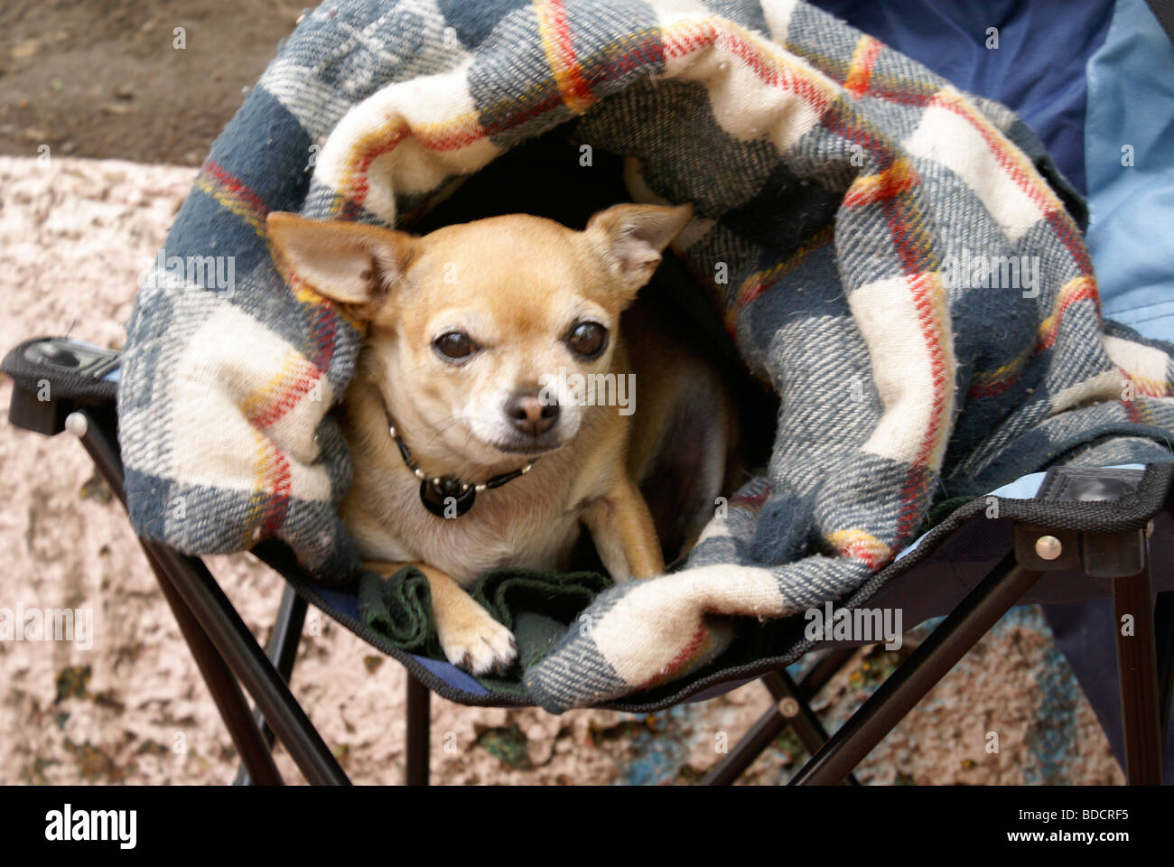 chihuahua-rolled-in-a-blanket-mexico-cit