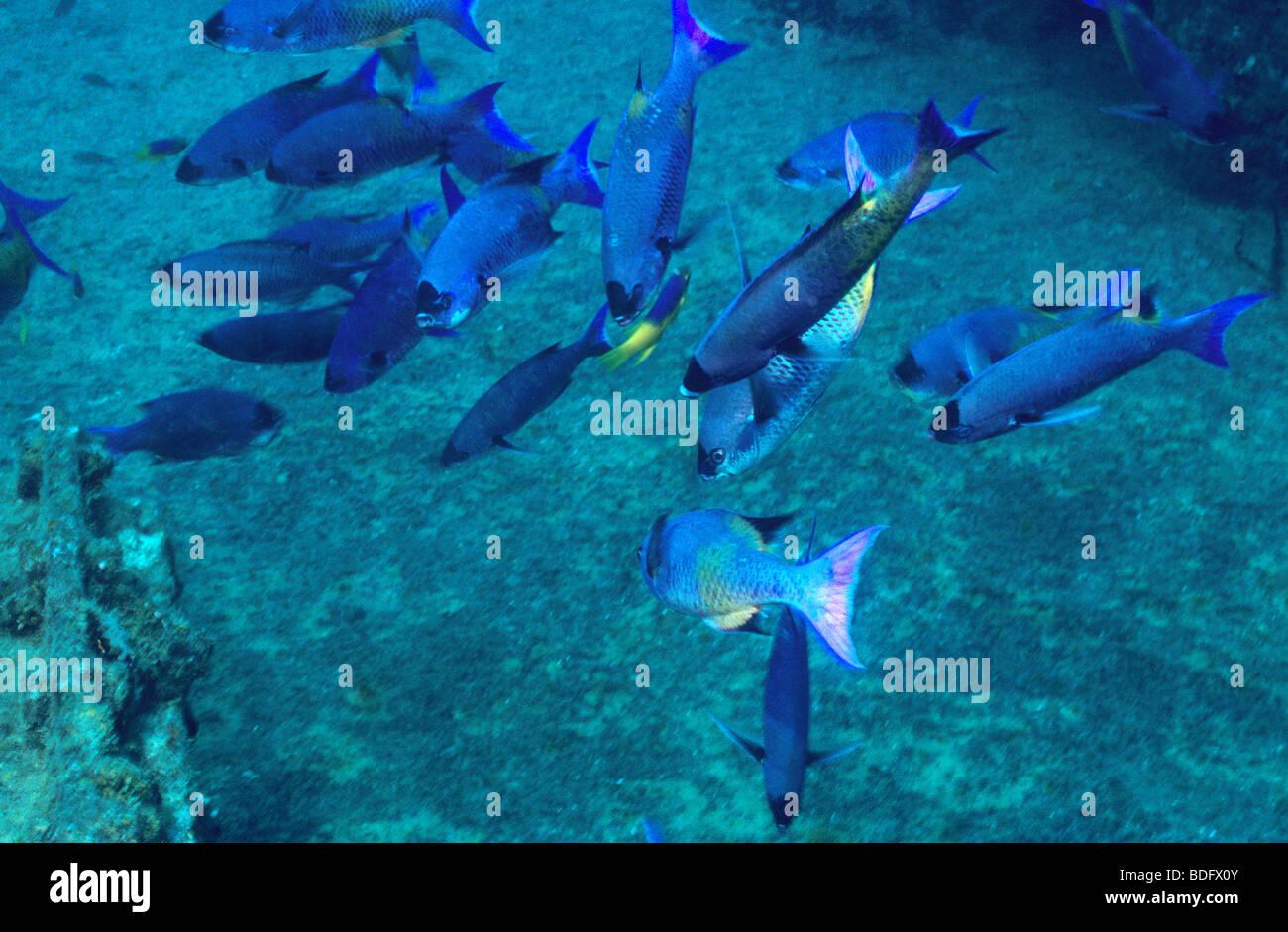 Underwater marine fish off the island of grenada spanish for Fish in spanish
