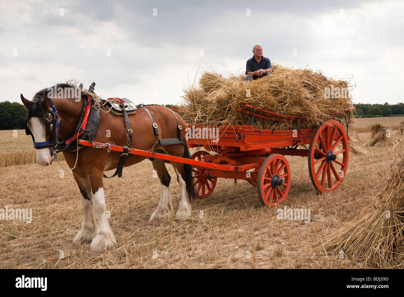 stock photo   shire horse and cart in harvest field collecting sheaves