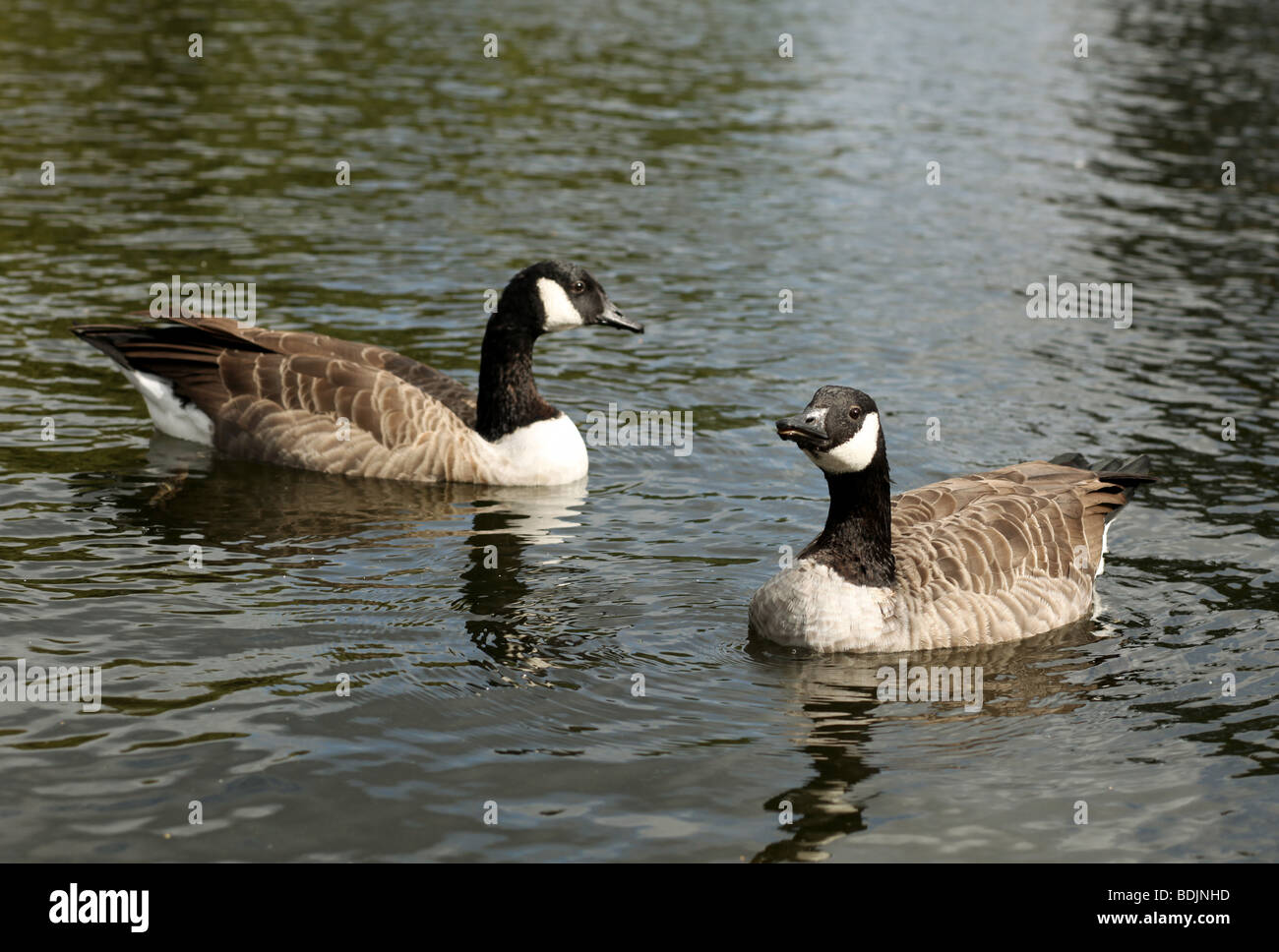 Canada Goose expedition parka replica store - Pair Of Canadian Geese Stock Photos & Pair Of Canadian Geese Stock ...