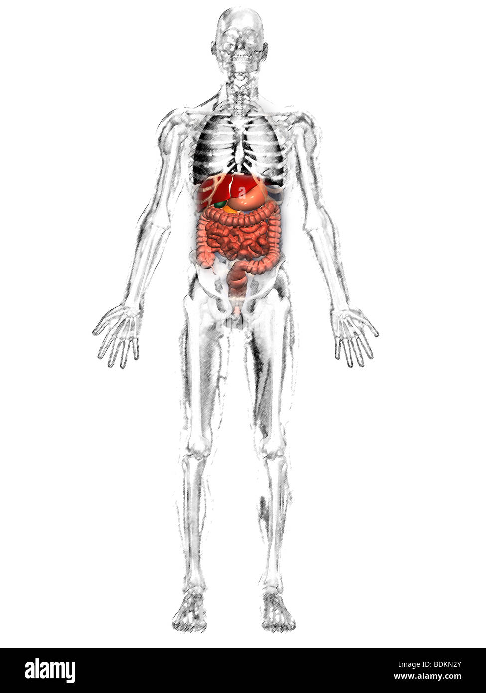 Human anatomical illustration of an adult man showing the human anatomical illustration of an adult man showing the skeleton lungs liver gallbladder stomach pancreas and appendix ccuart Choice Image