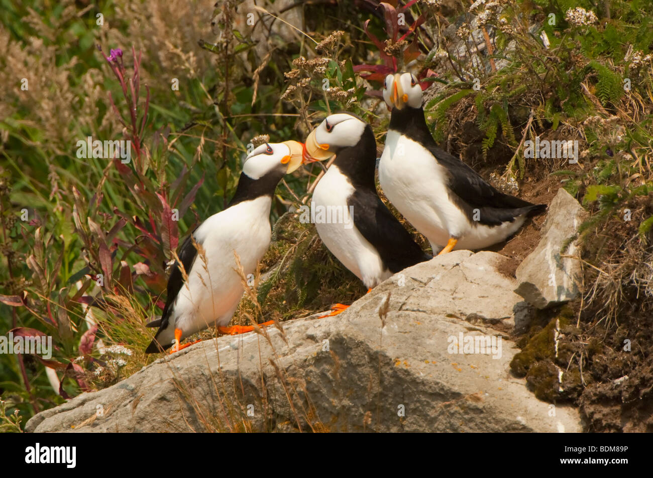 Cook Inlet Alaska USA Horned Puffins Are The Closest Northern - Usa northern hemisphere