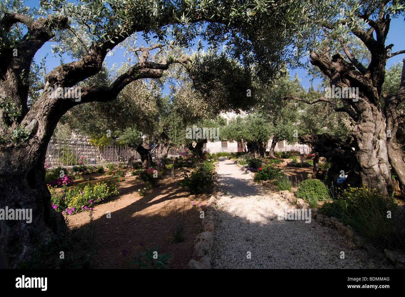 Ancient olive trees in the garden of gethsemane for Age olive trees garden gethsemane