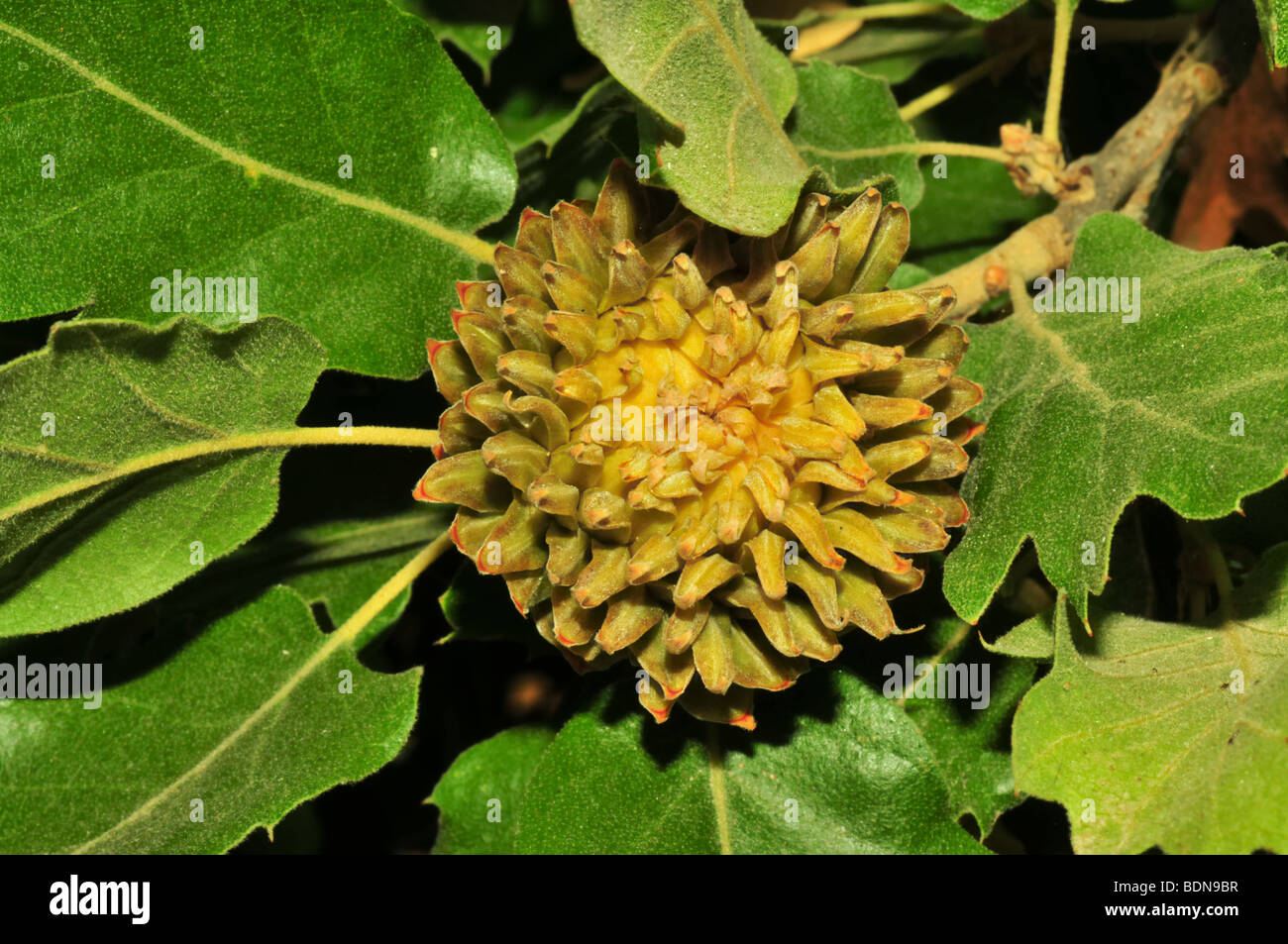 image of oak leaves and acorn quercus macrolepis stock photo