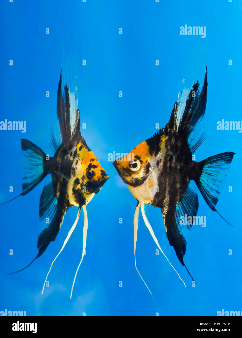 Fish aquarium in bangladesh -  Portrait Of Two Coloured Longfin Angel Fish Scalare Pterophyllum Scalare Blue Background Orange Black White Silver