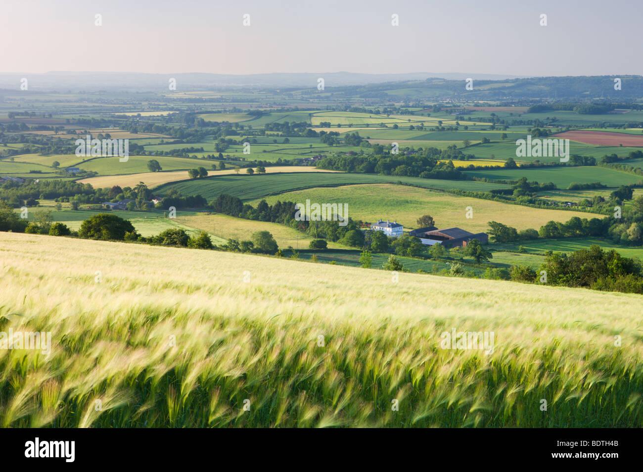 Barley Crop Field And Rolling Devon Landscape Near