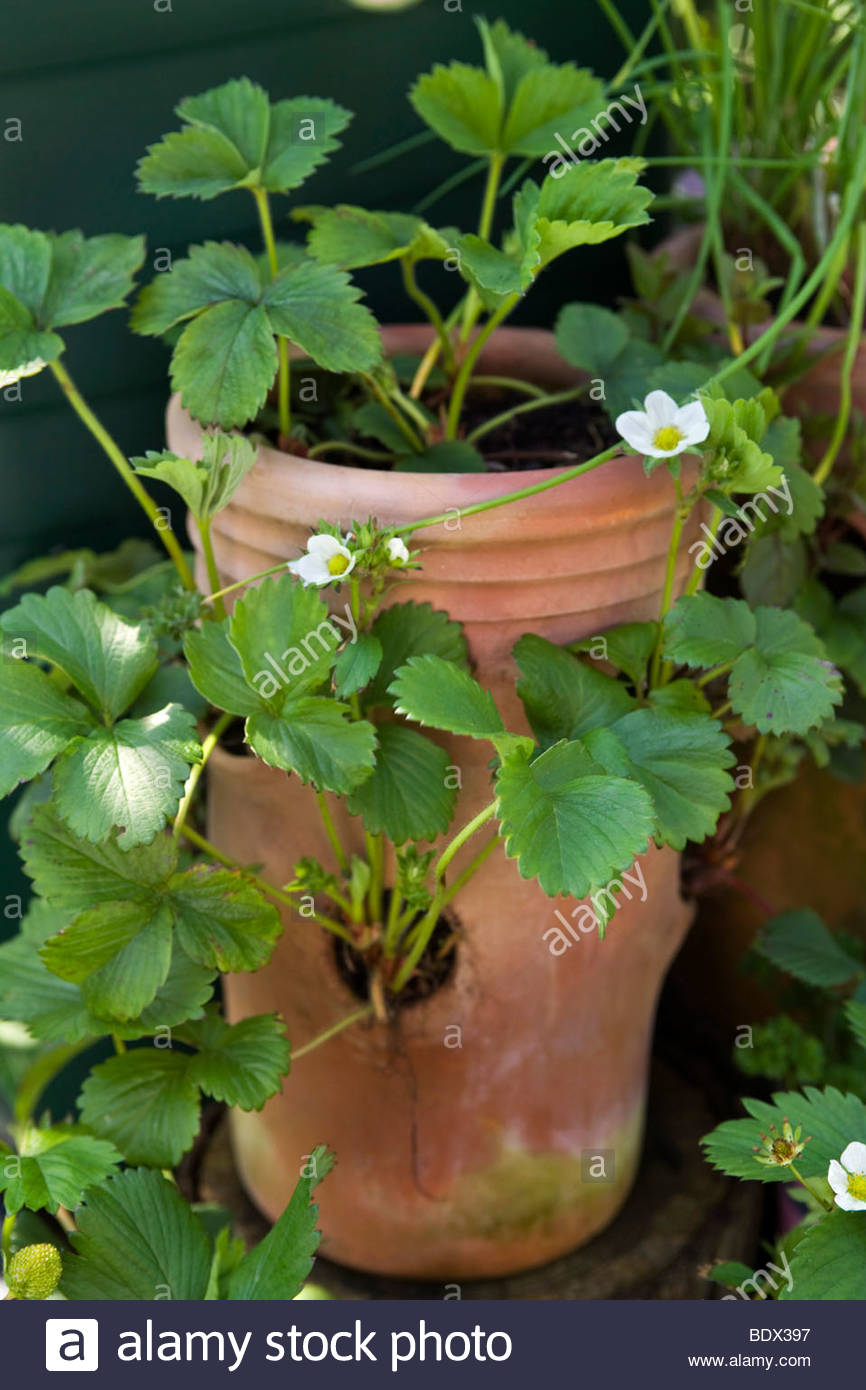 Strawberry plants in a terracotta strawberry pot Stock Photo ...