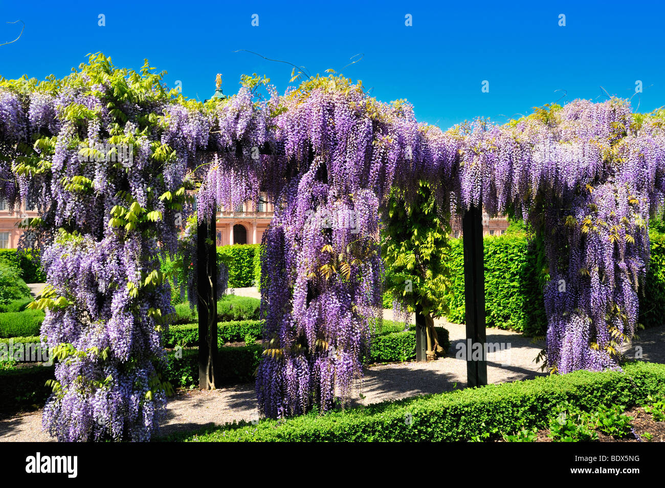 Pergola With Chinese Wisteria Sinensis In The Palace Garden Of Schloss Rastatt Castle Schwarzwald Baden W