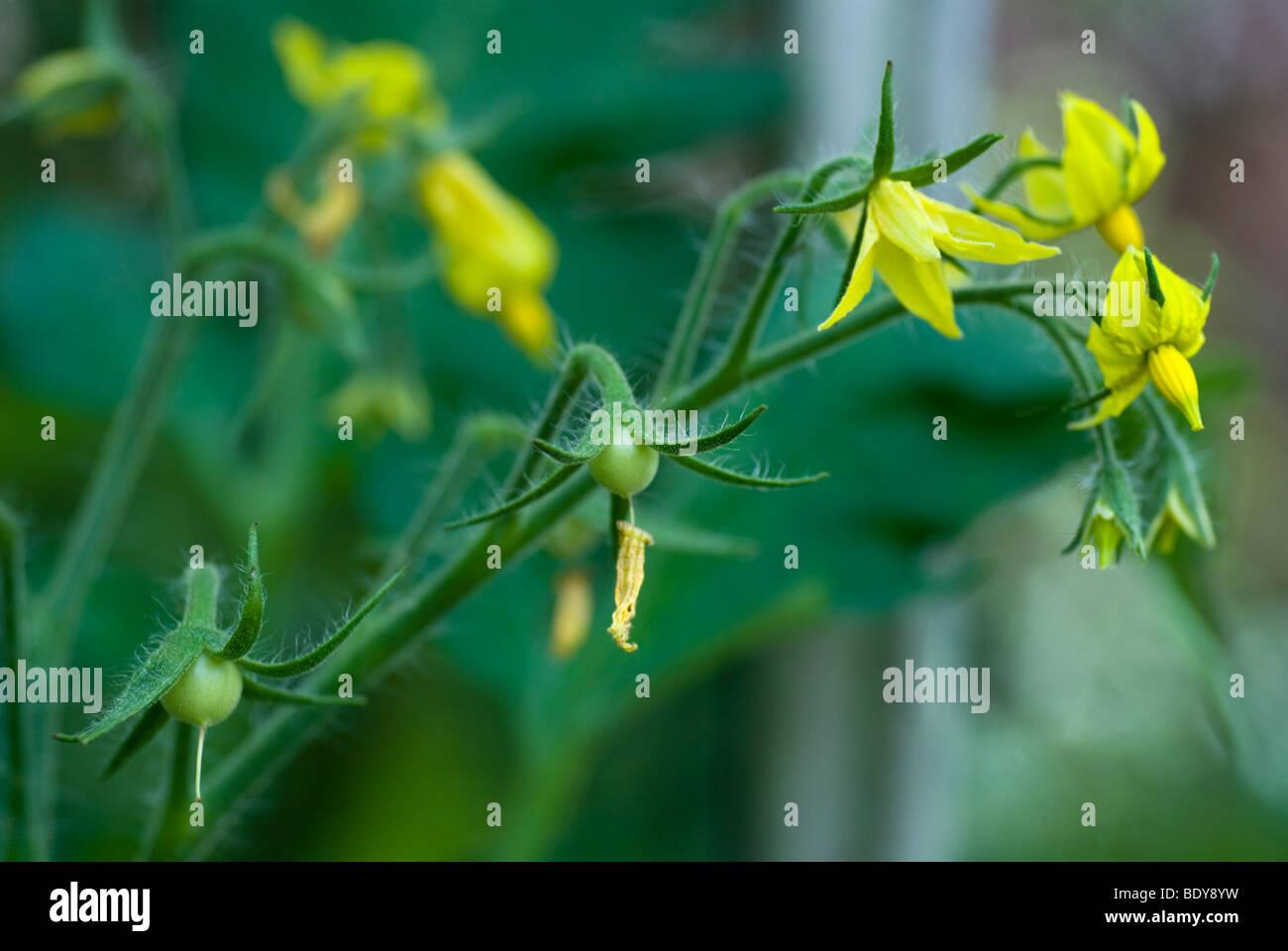 Yellow flowering tomato plant solanum lycopersicum lycopersicon yellow flowering tomato plant solanum lycopersicum lycopersicon esculentum mightylinksfo Choice Image