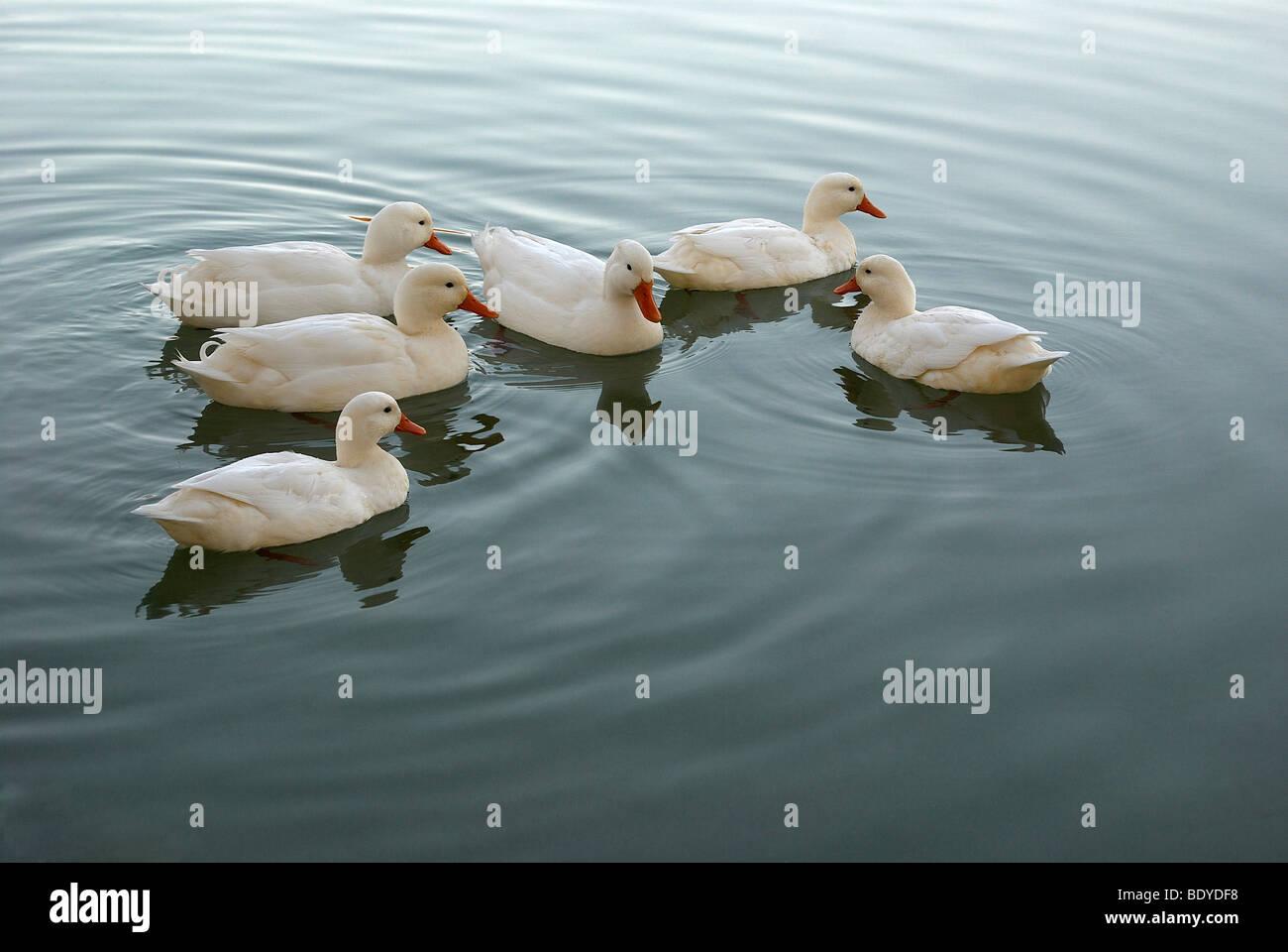 Ducks duck white ducks male female pond pond ripples for Duck pond water