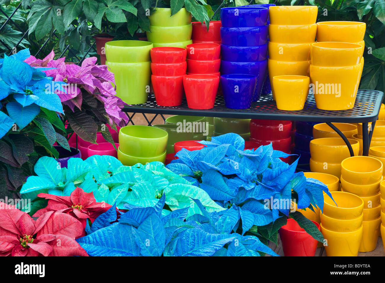 Colorful Pots And Colored Poinsettias Als Garden Nursery
