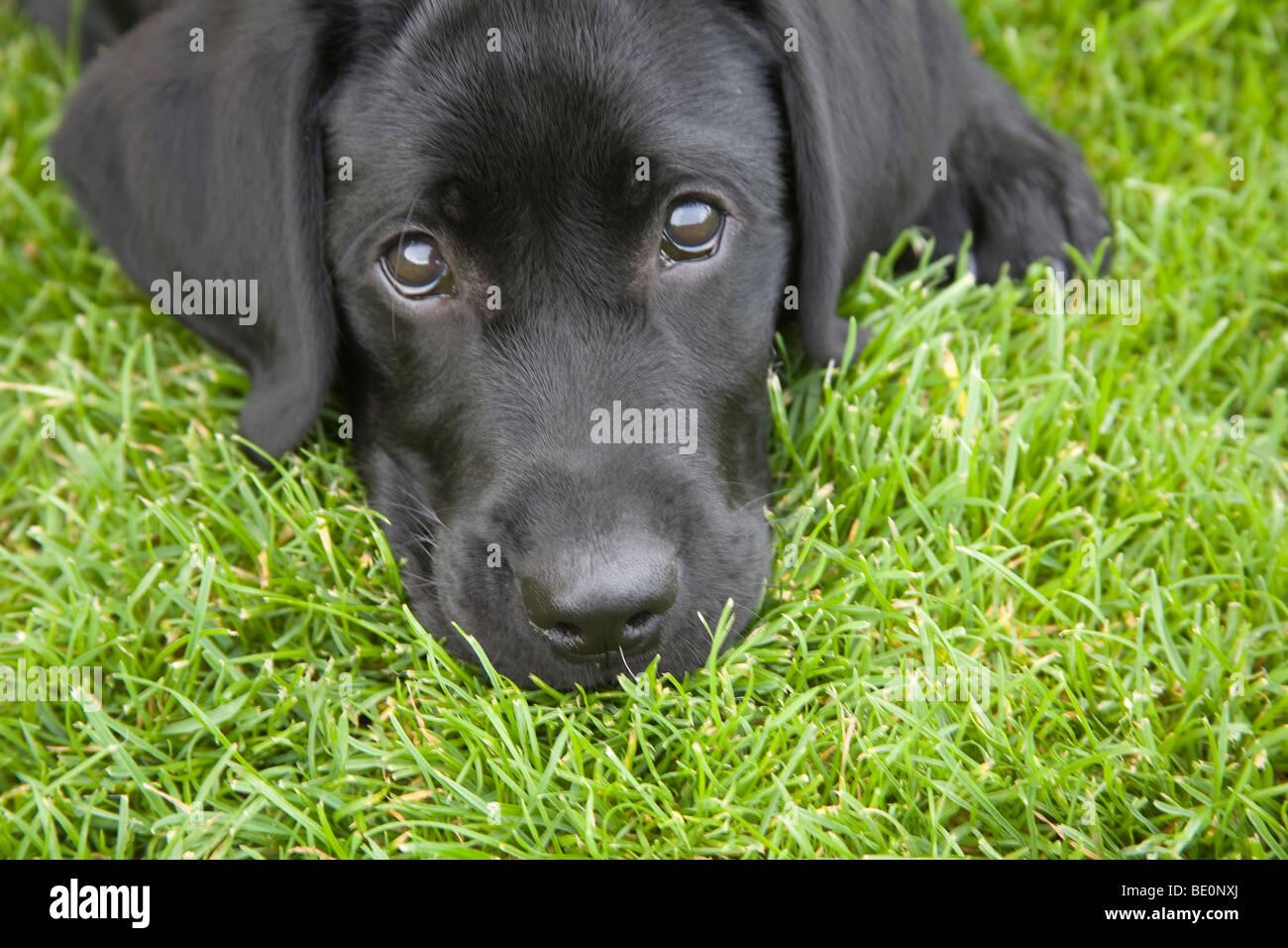 33   Great Black Lab Dog for Black Lab Dog Male  150ifm