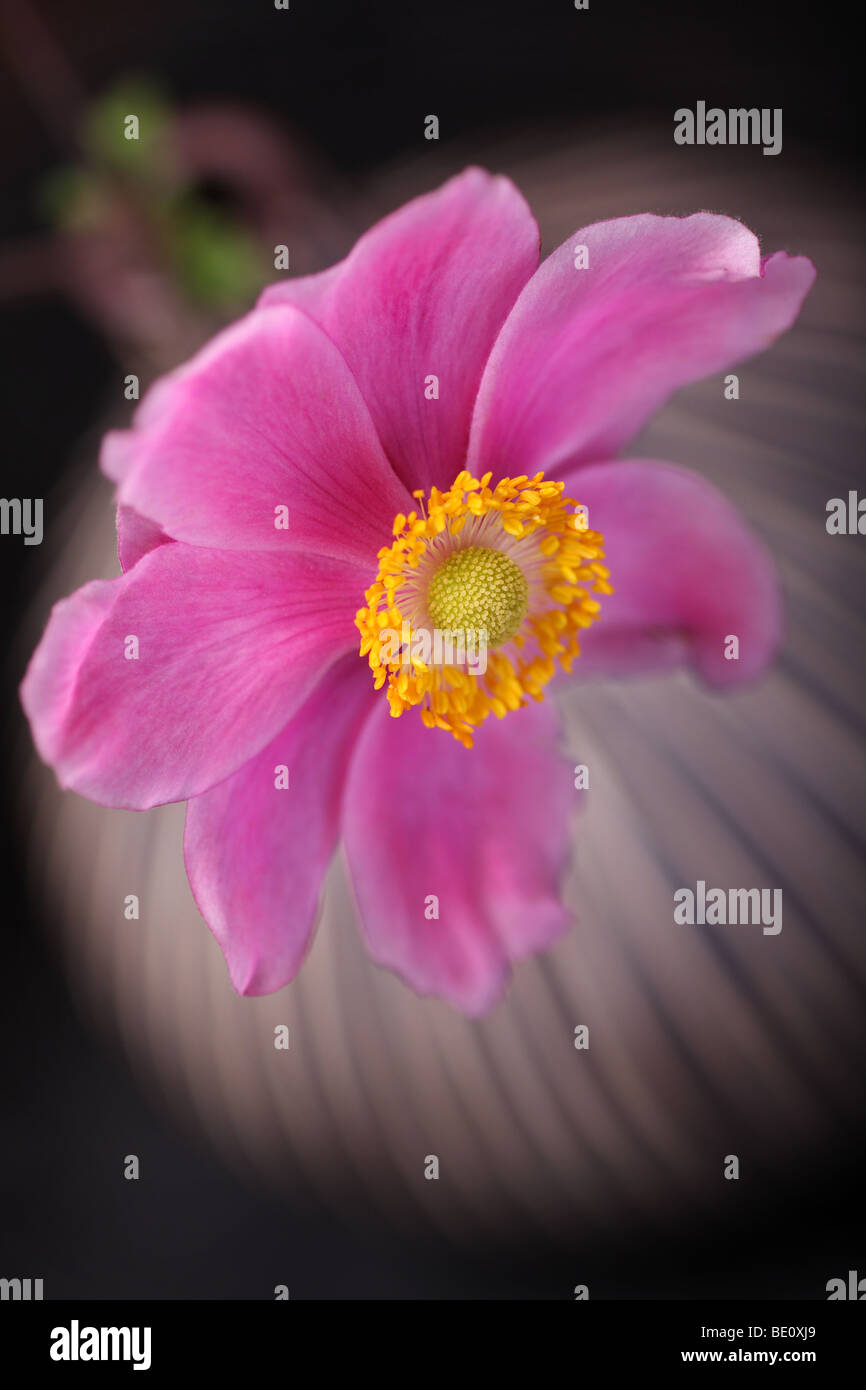 pink anemone in vase, focus to heart of the flower.shallow depth, Beautiful flower