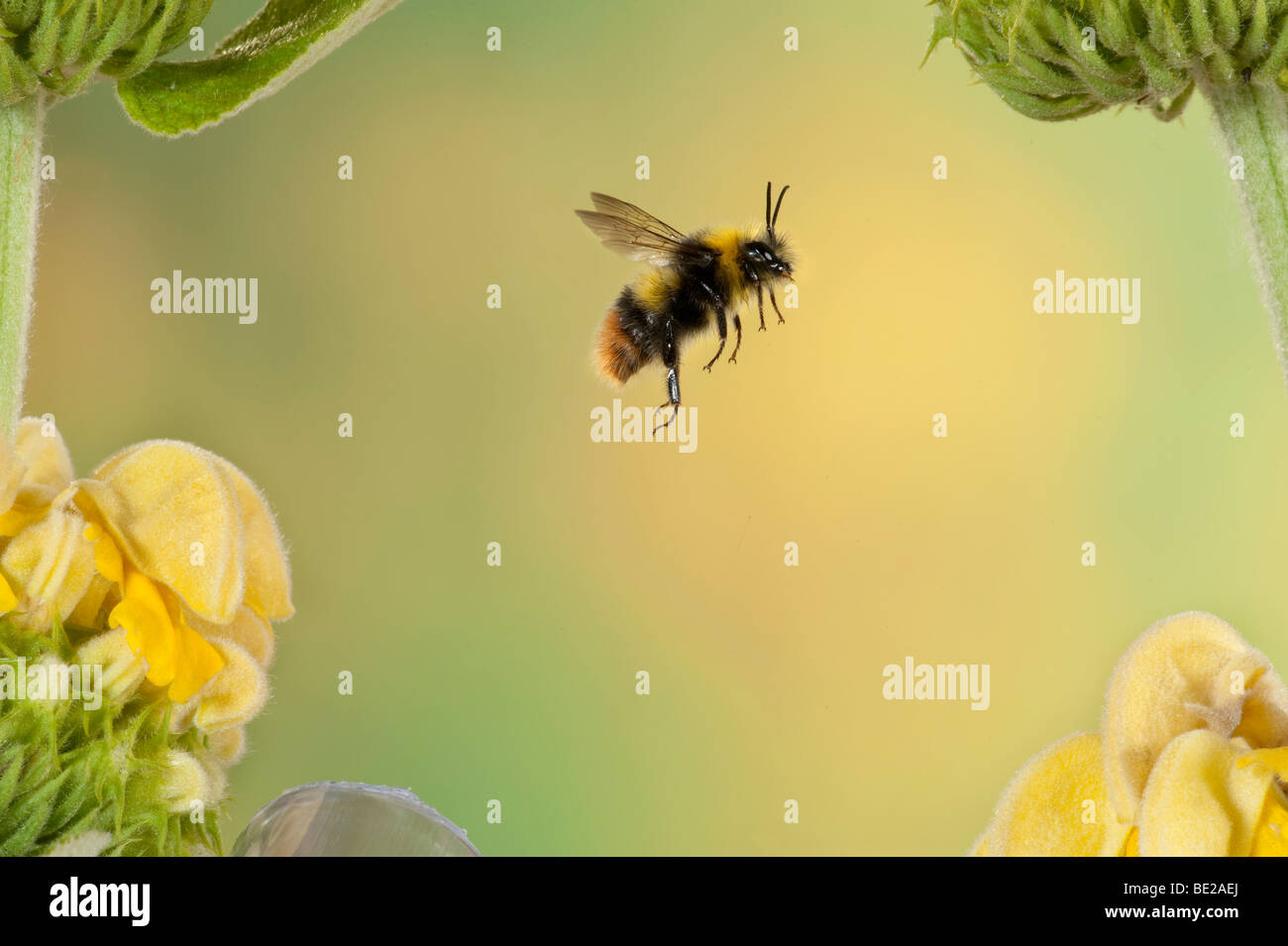 red tailed bumble bee bombus pratorum in flight free flying