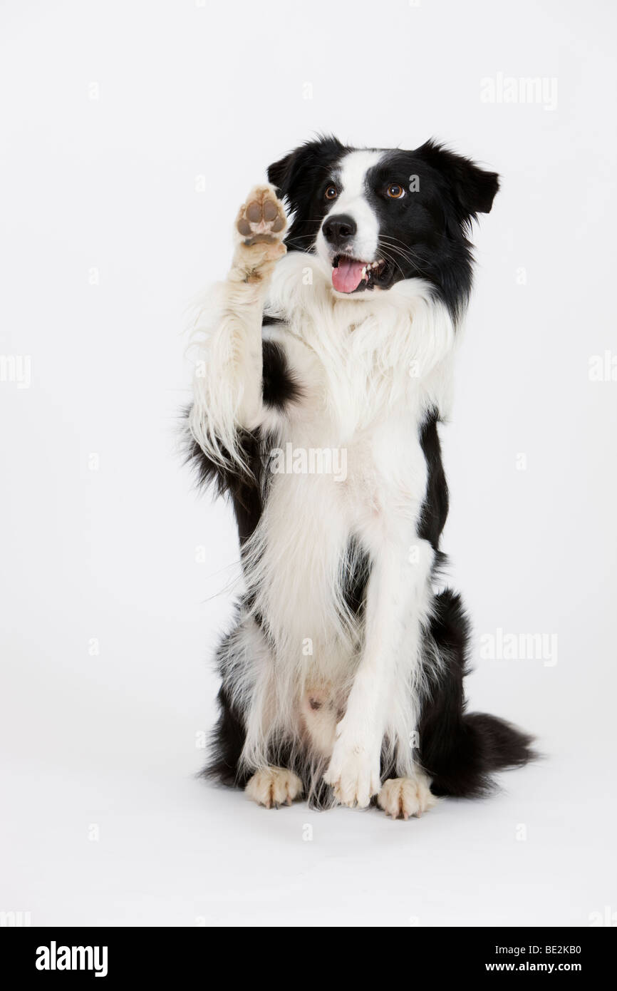 Border Collie waving male Stock Photo Royalty Free Image