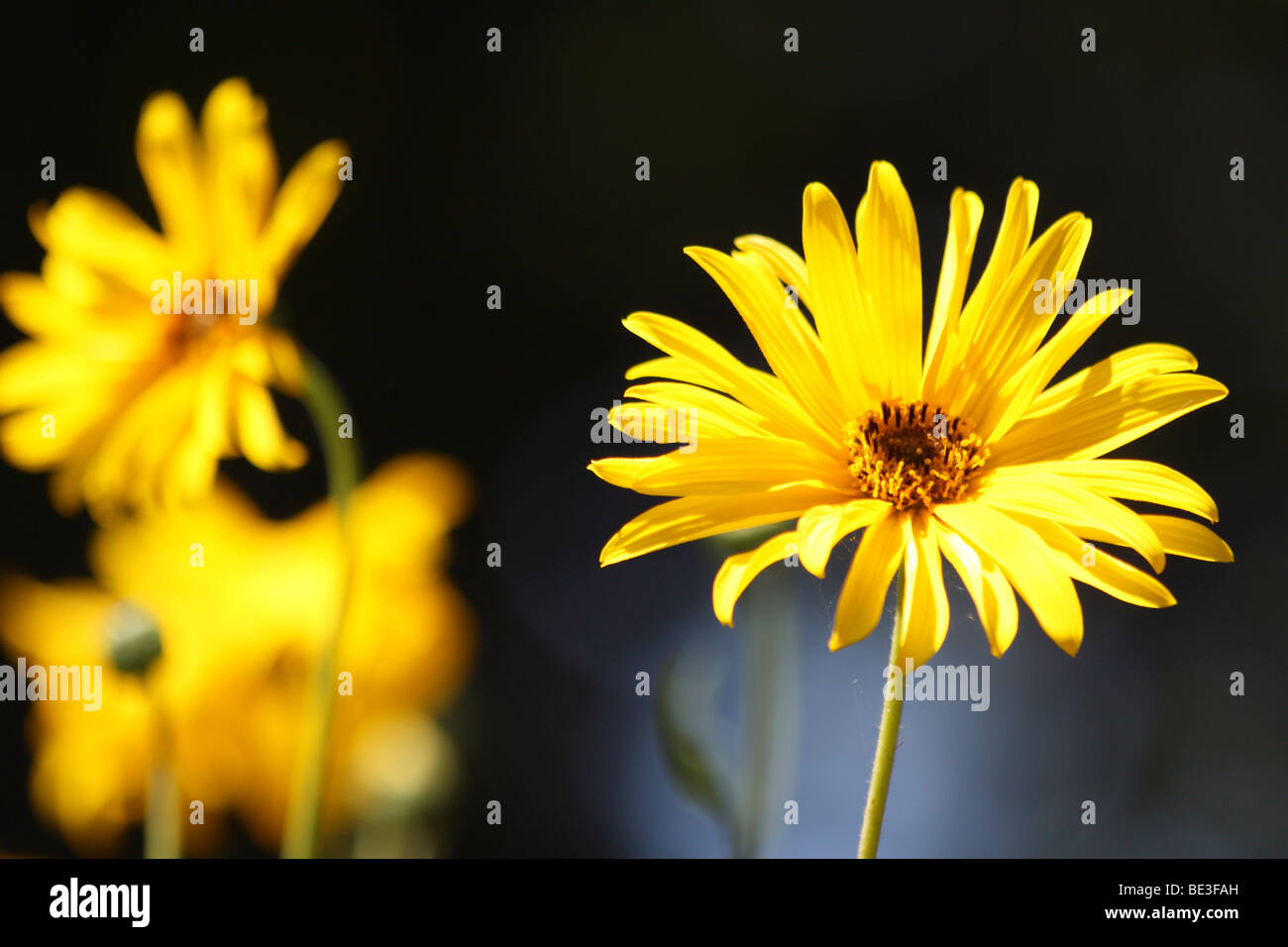 Yellow daisy type flower stock photo royalty free image 25893465 stock photo yellow daisy type flower dhlflorist Images