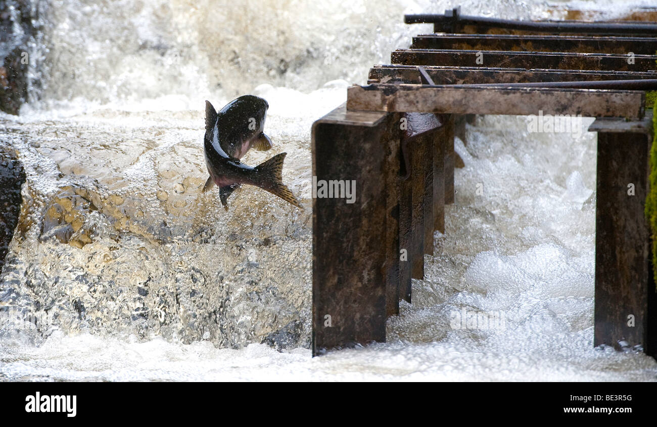 """A Pink Salmon swimming up the fish ladder at Pavlov Creek, Alaska Stock Photo, Royalty Free ..."