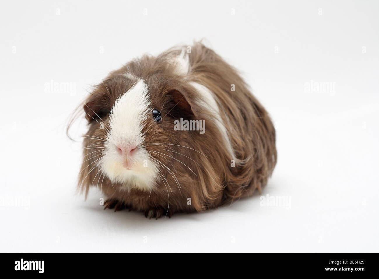 Sheltie guinea pigs - photo#46