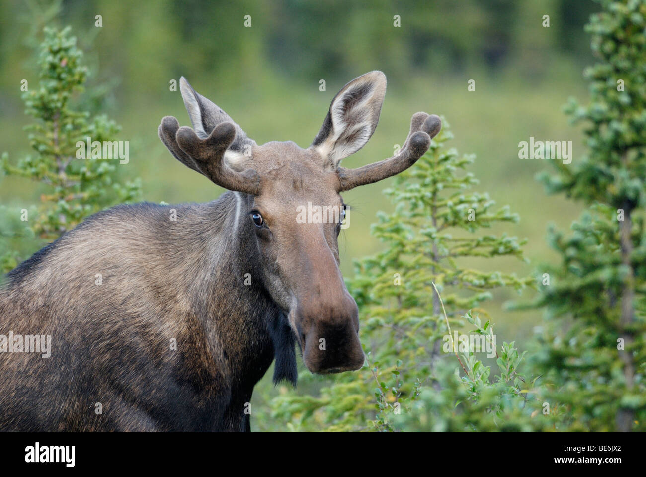 moose head stock photos u0026 moose head stock images alamy