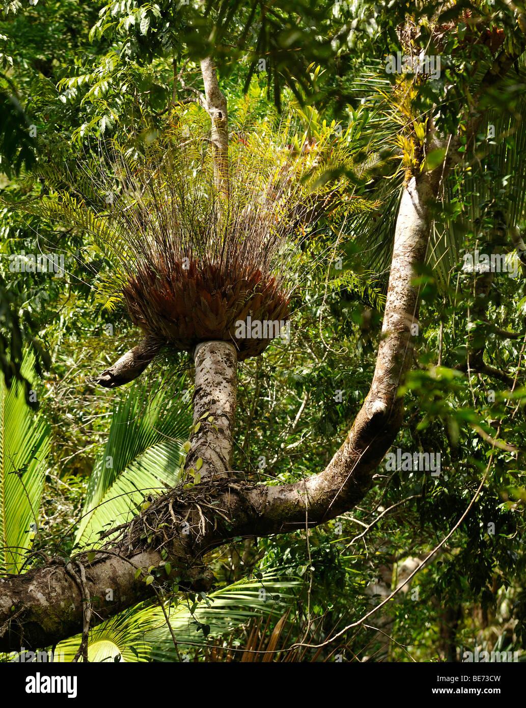 basket fern drynaria rigidula rain forest daintree national