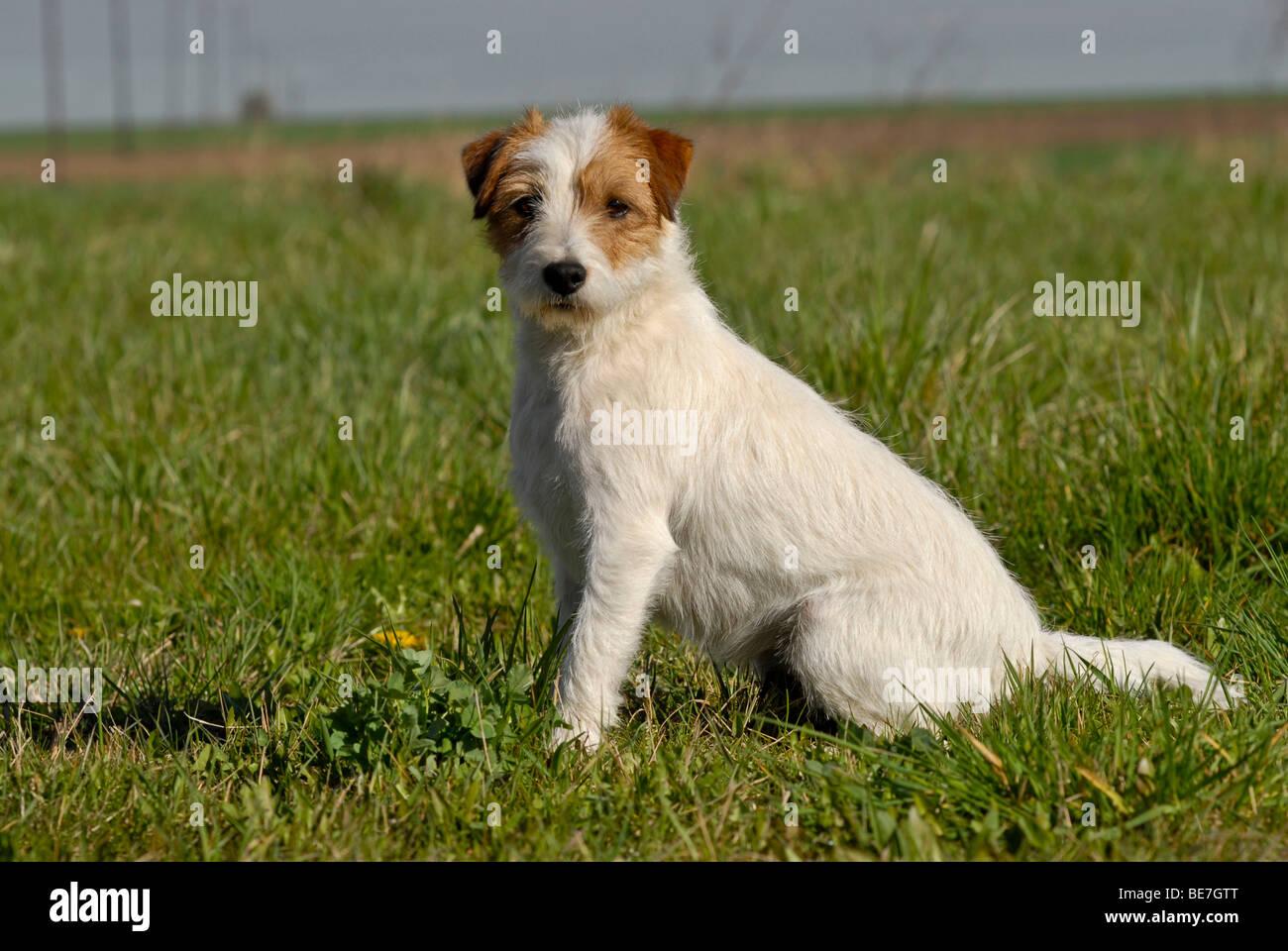 Full-grown Jack Russell Terrier Related Keywords - Full ...