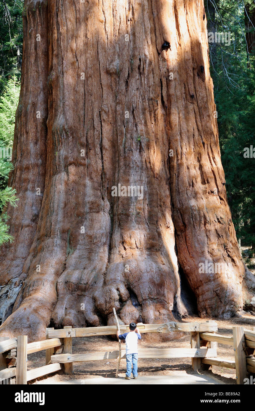 Populaire USA, California, Sequoia National Park, General Sherman giant  PS32