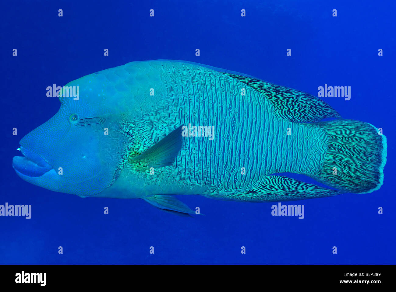 Humphead or Giant wrasse, Red Sea Stock Photo, Royalty ... | 1300 x 960 jpeg 164kB