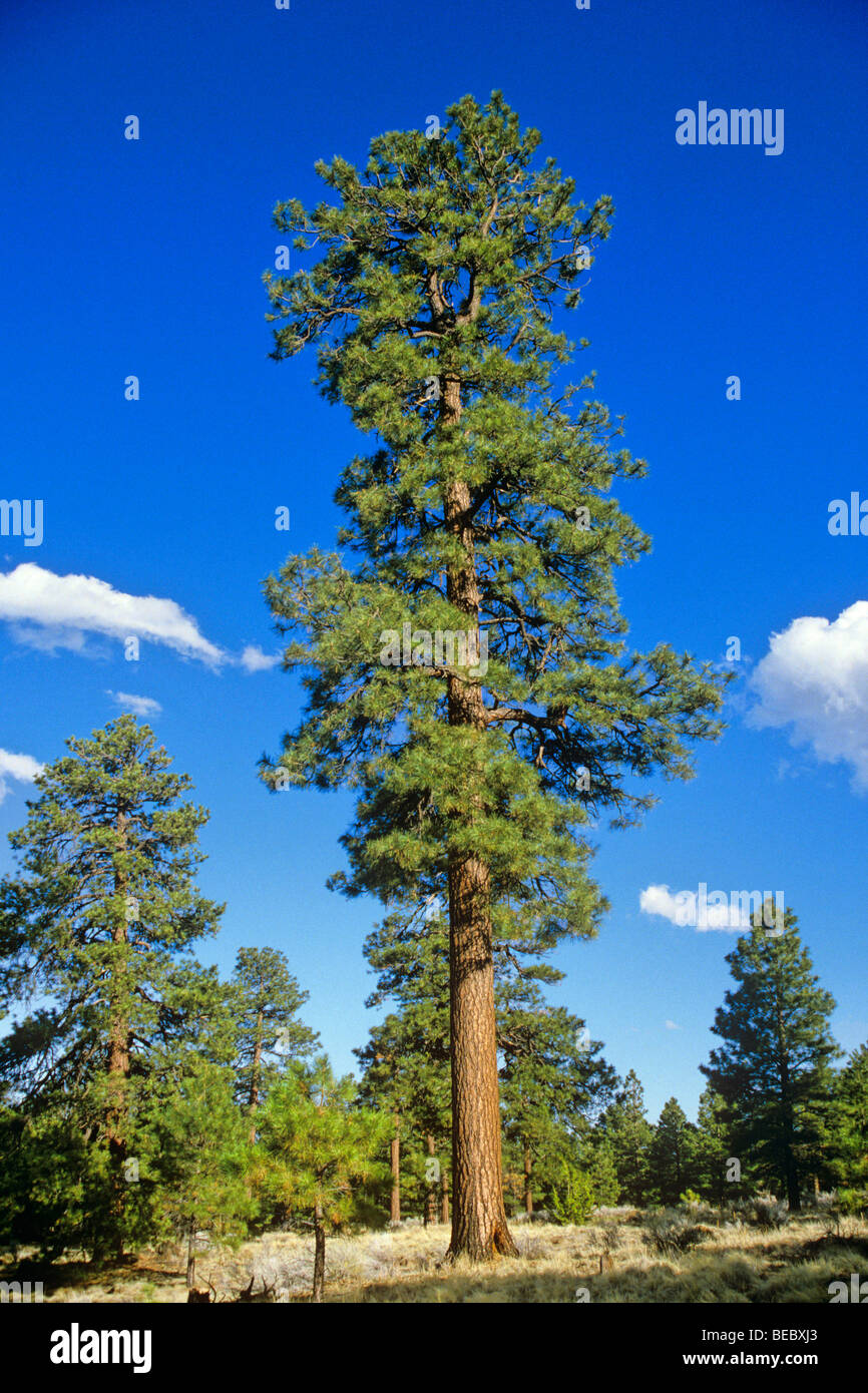 Ponderosa pine tree mature coconino national forest near for Mature pine trees