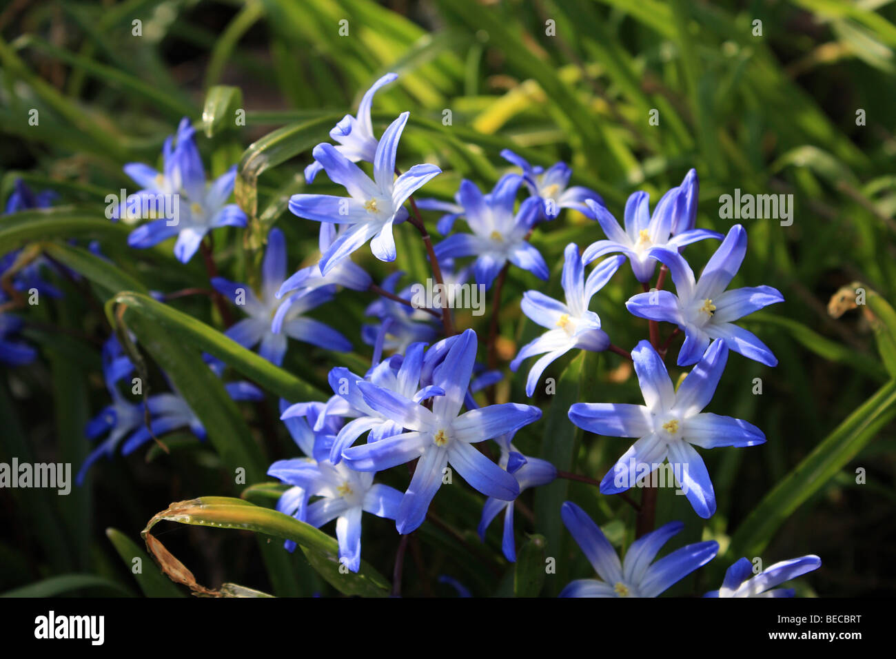 The vivid blue flowers of chionodoxa luciliae or glory of the stock photo the vivid blue flowers of chionodoxa luciliae or glory of the snow a spring flowering bulb sussex england uk dhlflorist Choice Image