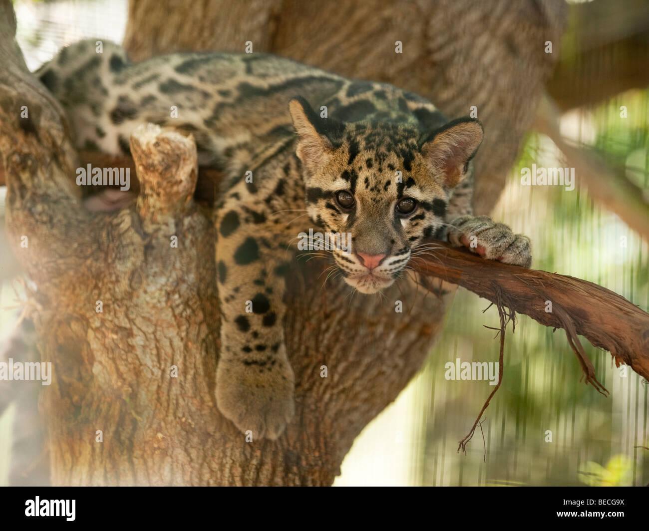 Pet clouded leopard