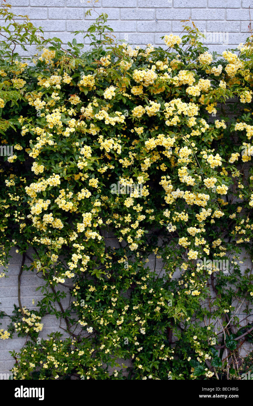 Rosa banksiae \'Lutea\' AGM Stock Photo, Royalty Free Image ...