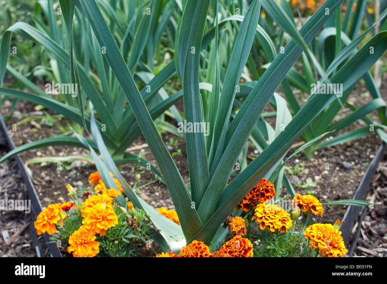 Marigolds Growing Next To Leeks And Onions In A Vegetable Garden Stock Photo Royalty Free Image