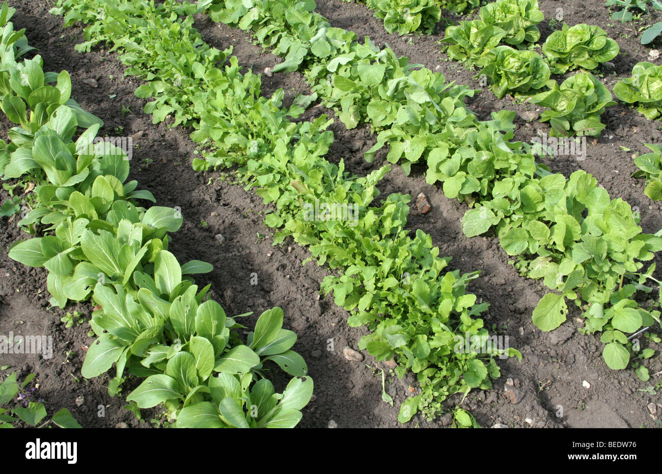Vegetable garden rows - Rows Of Young Pak Choi Rocket Radishes And Lettuce In A Vegetable Garden