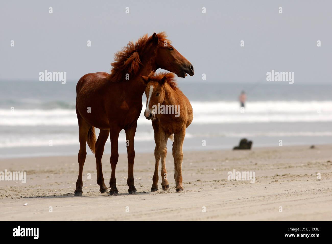 Carova Beach Nc Wild Horses Play On The Beach In The Most
