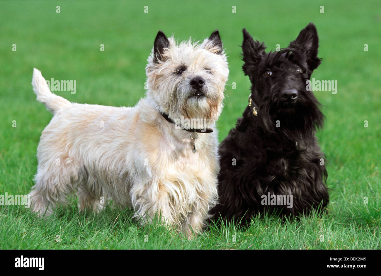 White Cairn Terrier Puppy Two terriers, white Ca...
