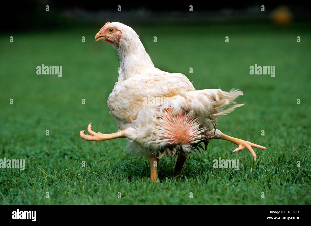 Mutated chicken with four legs, a congenital physical ...
