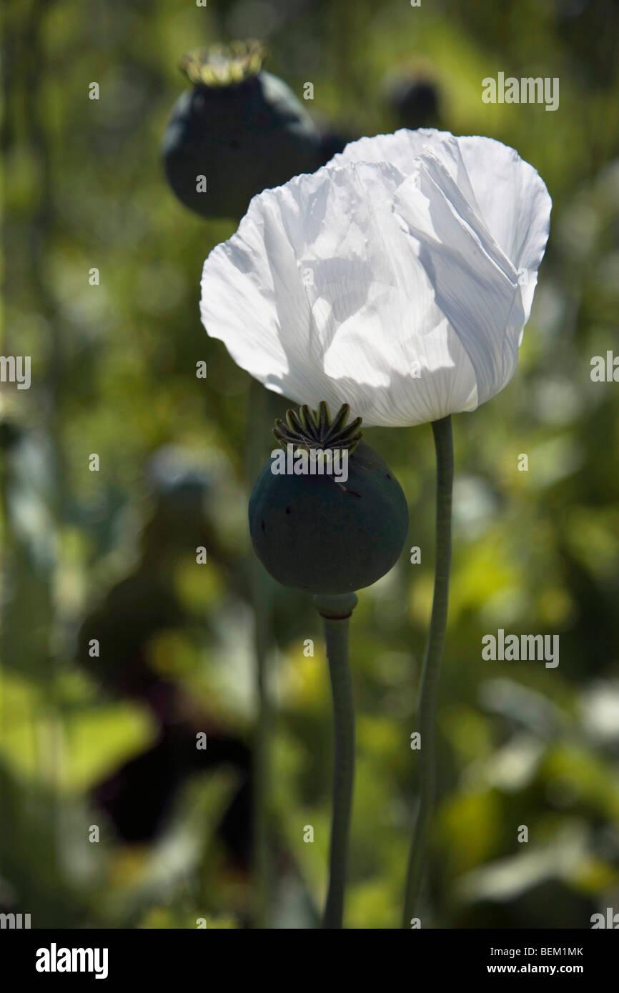 Opium poppy flower sgtl turkey europe stock photo opium poppy flower sgtl turkey europe mightylinksfo